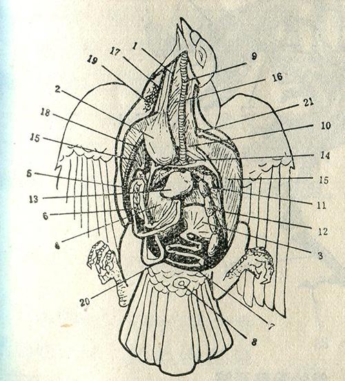 鸽体解剖图