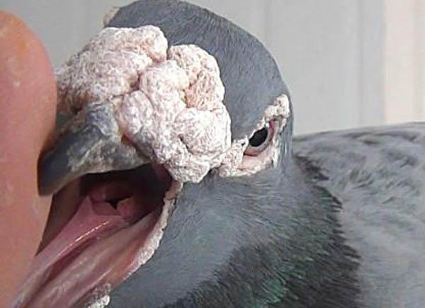 鸽子呼吸喘气怎么办,凯鸽鸽药咳喘宁帮您忙?