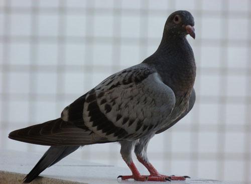 鸽子红鼻头怎么治?凯鸽鸽药告诉您?