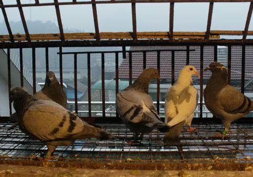 鸽子呼吸道疾病感染的原因分析及预防措施