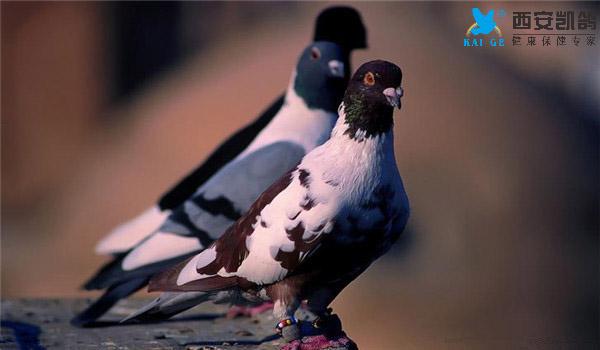 种鸽,选种,凯鸽,血统