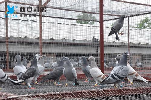 爱鸽比赛归巢后如何调理与恢复?