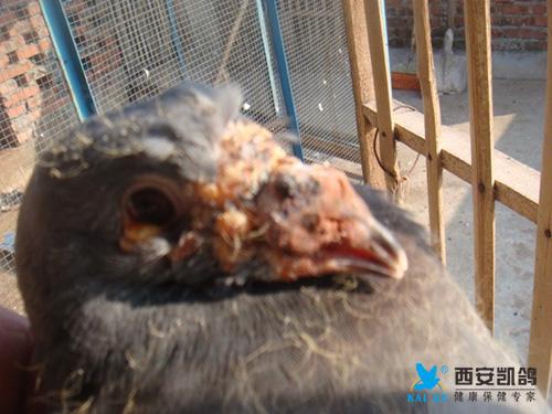 秋冬季节鸽痘的预防和治疗