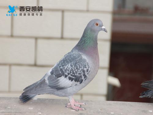 冬天养鸽怎么养 有哪些注意事项