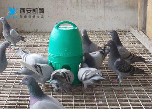 冬季赛鸽饮水常识分享,6大配伍禁忌