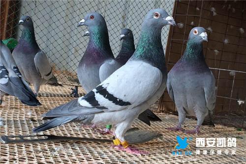 赛鸽越冬八项注意 ,你知道几项?