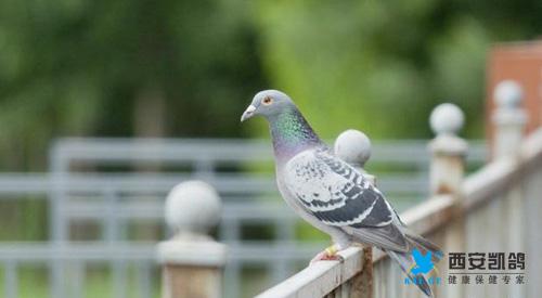 凯鸽谈常见鸽病的诊断与防治