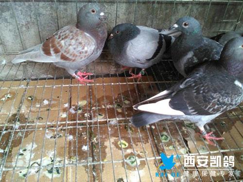 鸽子吃粪便什么原因?