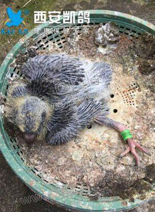 幼鸽多发疾病,幼鸽软脚病,幼鸽站不起来