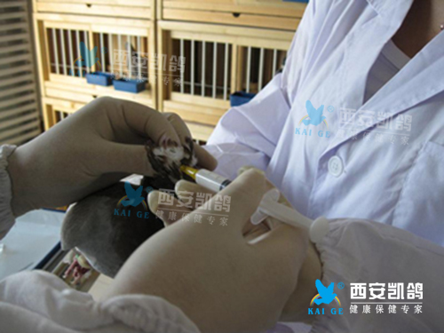 疫苗注意事项,幼鸽免疫,幼鸽免疫程序