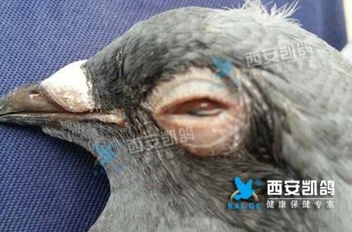 单眼伤风,衣原体感染,鸽子眼睛流泪