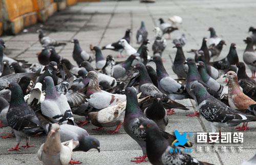 训放,比赛,鸽子比赛,赛鸽,赛鸽体能,预防鸽病