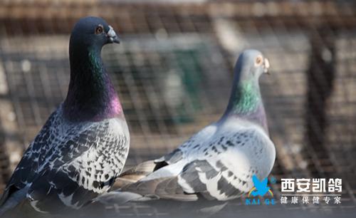 鸽子感染了【沙门氏】,怎么办!