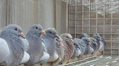 养鸽,引种,比赛