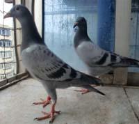 鸽子消瘦病