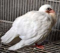 鸽子嗉囊积食