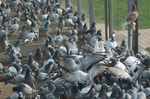 送交春棚幼鸽提高存棚率,需要做到四点!
