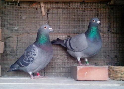 引进了优良的种鸽,就能培育出优良的后代吗?