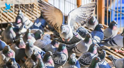 2018 比赛期赛鸽保健及状态调整
