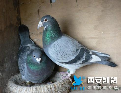 种鸽鸽乳分泌不足,幼鸽怎么办???